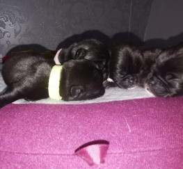 Pets  - Full kennl club pug puppys  2 female