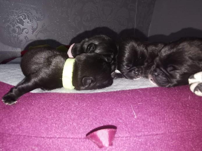 Full kennl club pug puppys  2 female