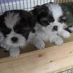 Excellent quality Pedigree Shih Tzu Puppies
