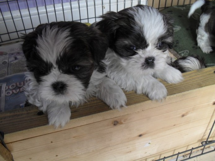 Excellent quality Pedigree Shih Tzu Puppies