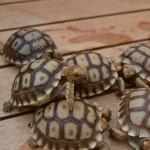 Sulcata Baby Tortoise
