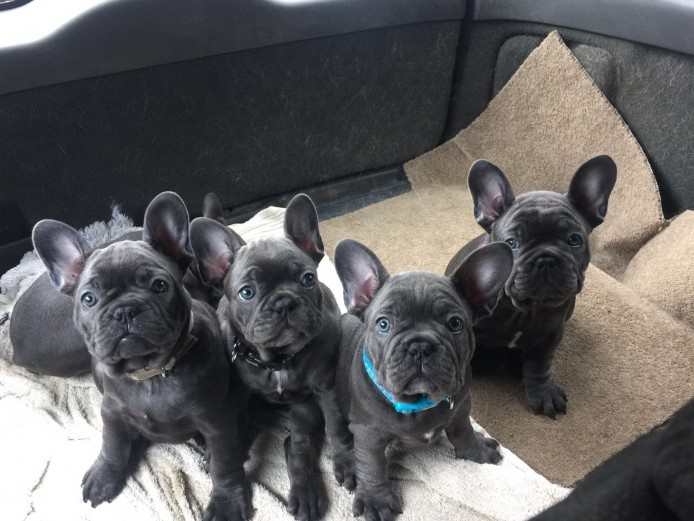 Solid blue Frenchbulldogs ready to go