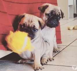 Pug Puppies for Sale, boys & girls ready for their