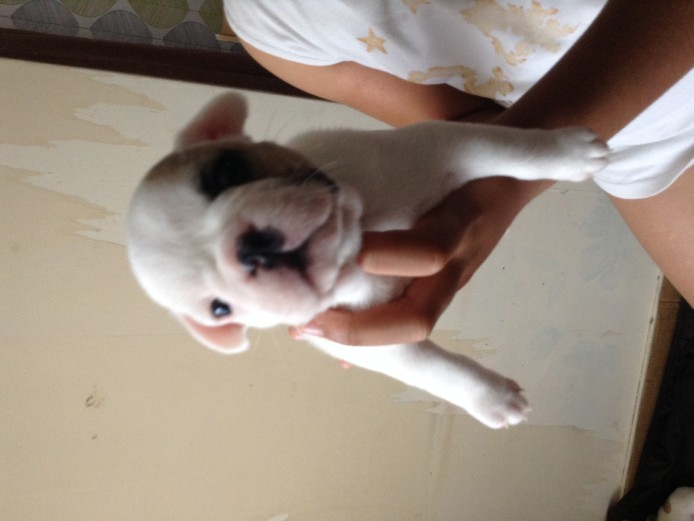 Beautiful Fawn Pied French Bulldogs