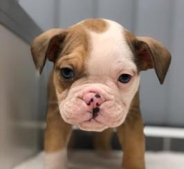 Top quality Olde English Bulldog puppies
