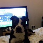 11 month old male staffie