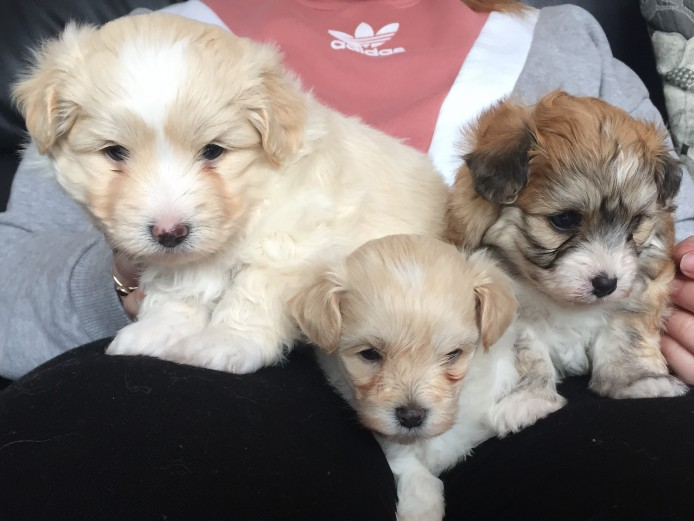 3 x Maltipompoo puppies for sale