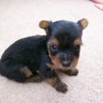 GORGEOUS YORKSHIRE TERRIER PUPPIES FOR SALE