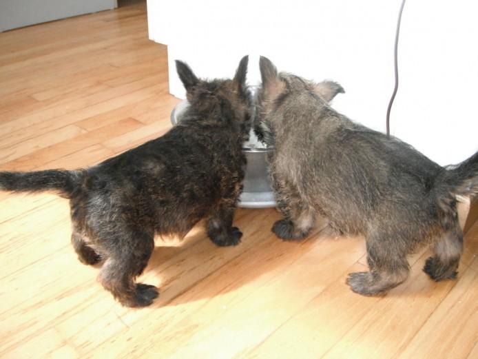 Excellent Pedigree Cairn Terrier Puppies