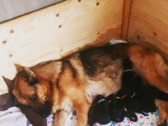 German sheperd puppies