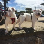 Stunning Victorian Bulldog Puppy Black and White Boy