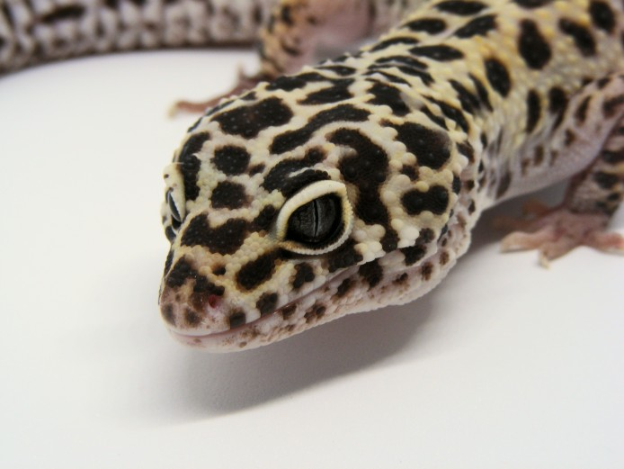 Male Jungle Mack Snow Het Radar Leopard Gecko #1
