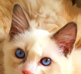 RagDoll. Beautiful Bi Colour