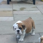 Beautiful KC registered bulldog puppy