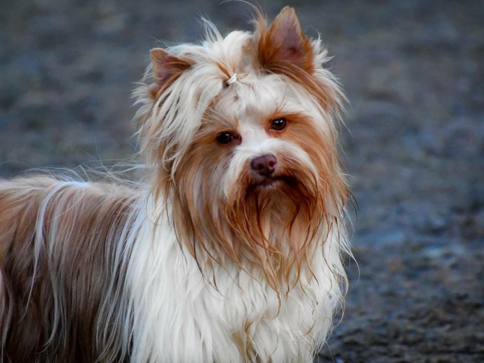 Goldsust Biewer Yorkshire Terrier