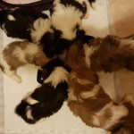 Shih Tzu puppies 3girls and 2 boys left