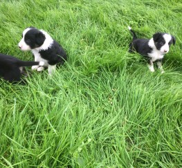 Pets  - Border Collie Puppies ready for homes