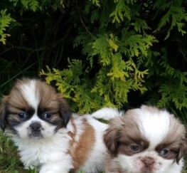 Pets for Adoption - Cute Shih Tzu Puppies For Sale