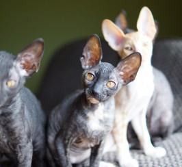 Cornish Rex kitten for sale