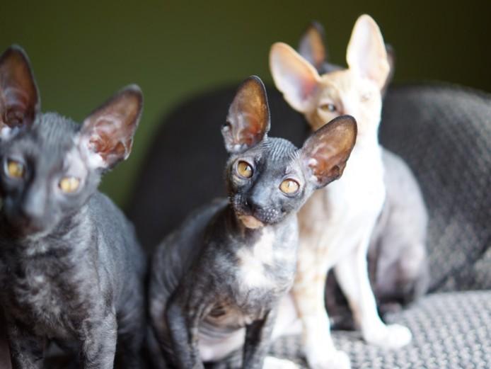 Cornish Rex kitten for sale