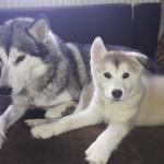 Stunning huskamute puppies for sale!