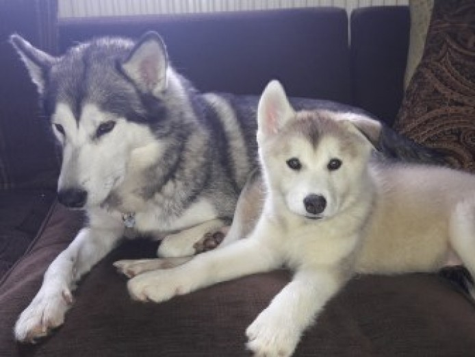 Stunning huskamute puppies for sale!