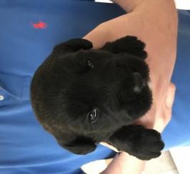 Teddy bear labradoodle puppies