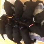 Labradoodle puppies f2 ready for visiting