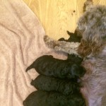 Sproodle puppies **2 LEFT**