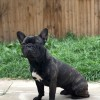 Pets for Sale - Adult French Bulldog Brindle 2 Years Old