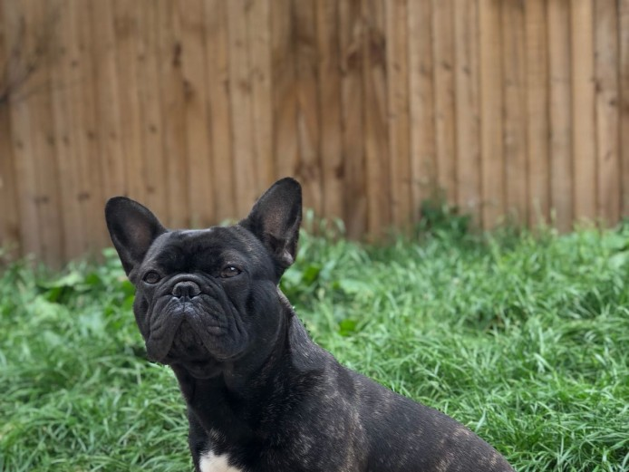 Adult French Bulldog Brindle 2 Years Old