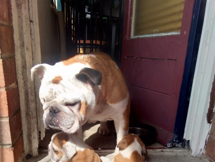 Amazing Litter Of 6 English Bulldog Puppies For Sale