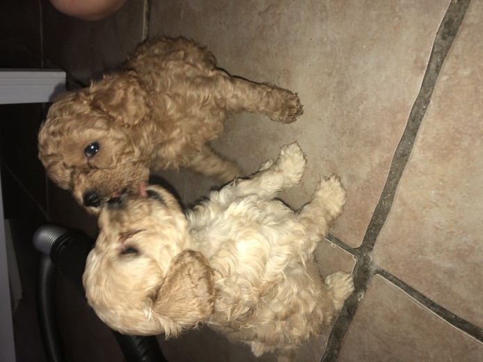 F1b Cavapoo puppies