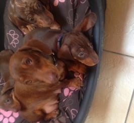 Gorgeous dashound puppies