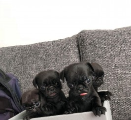 Kc reg pug pups