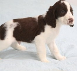 Pets  - Exceptional English Springer Spaniels Puppies