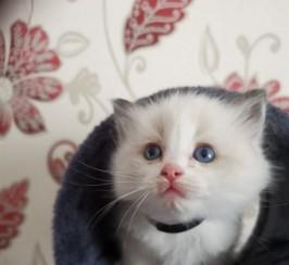Ragadoll Kittens for Sale