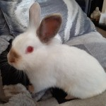 Beautiful white and grey, albino, lionhead rabbits