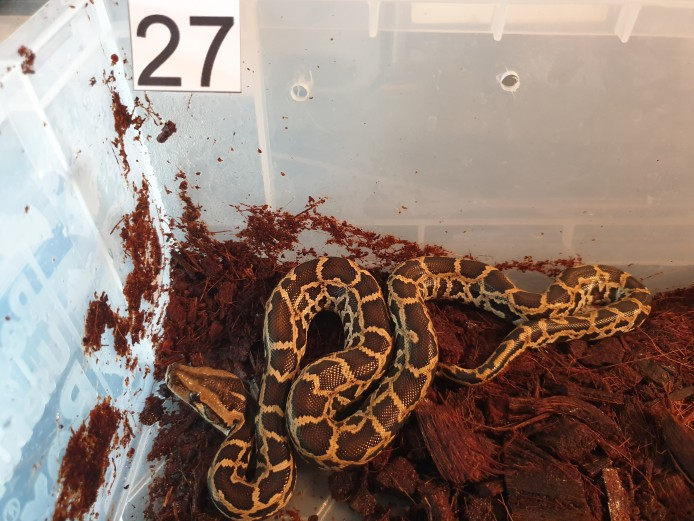 Hatchling Burmese Pythons for sale