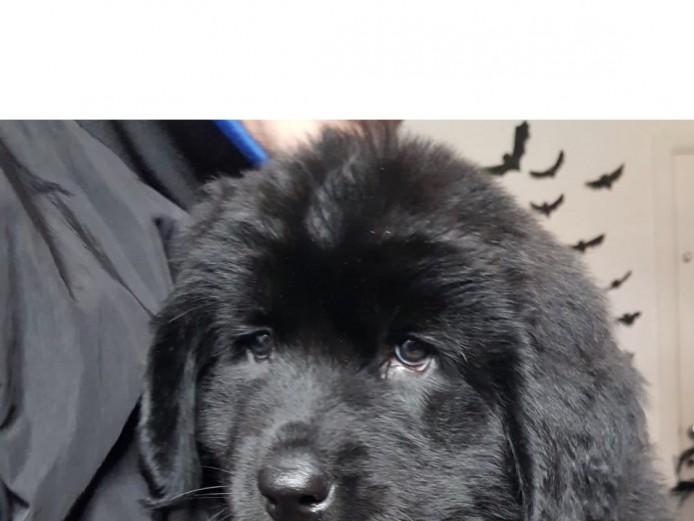 Beautiful Newfoundland Puppies KR REGISTERED