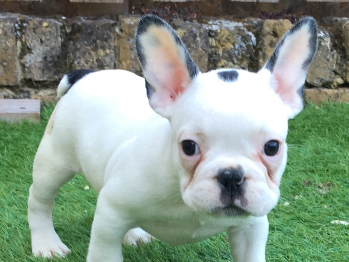 5 stunning French bulldogs ready for their forever homes! KC reg