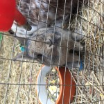 Brown baby Netherland dwarf bunny for sale