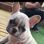 Stunning quality french bulldog pups