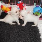 Gorgeous Kc Reg Lc Chihuahuas