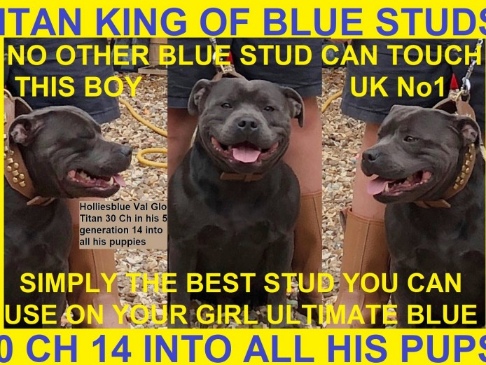 Meet Titan The Best True To Type Blue Staff Stud On The Planet