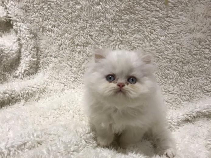 Adorable White Persian kittens for Adoption