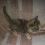 Adorable Ragdoll cross kittens for sale