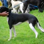 Stunning kc registered whippets