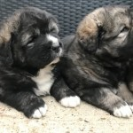 Top Quality Caucasian Ovcharka Shepherds Puppies