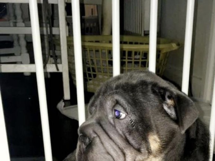 Bullpei puppies for sale